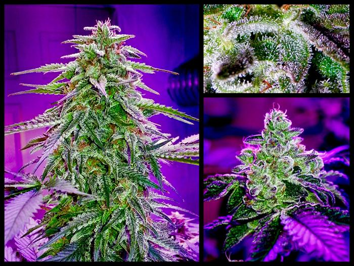 Grow Beleuchtung Led | Led Technik Der Durchbruch In Der Cannabis Beleuchtung Grow