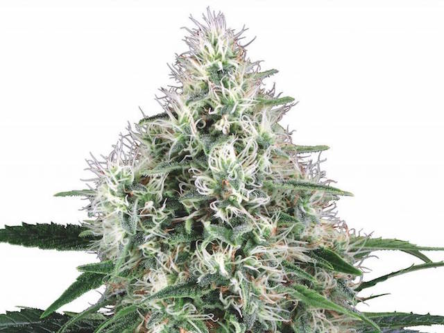 Pure Power Plant Automatic White Label von Sensi Seeds