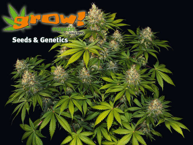 Bubble Gum von Serious Seeds